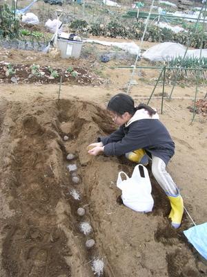 芋を植える