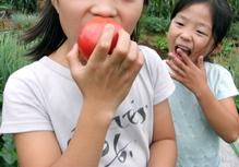 080625トマト収穫