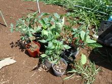 夏野菜の苗