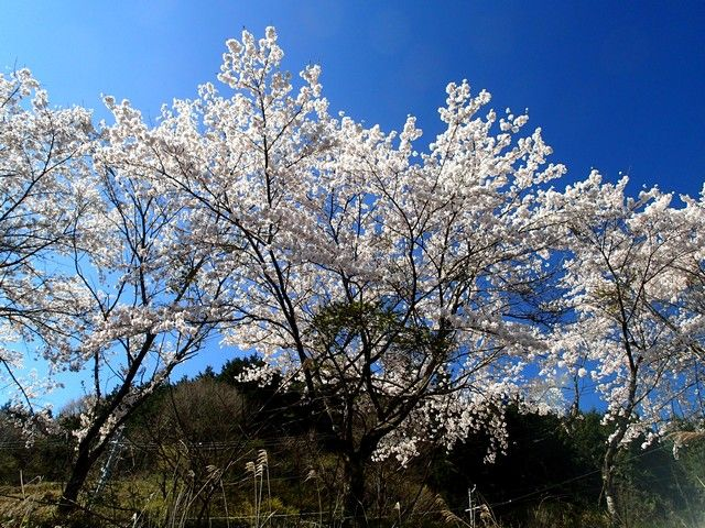 天気も桜も
