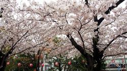 17‗桜 (1)