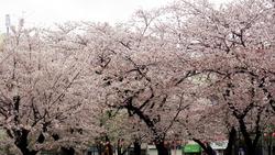 17‗桜 (2)