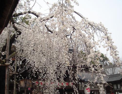 平野神社_魁桜