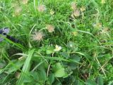 IMG_1599チングルマ実と花