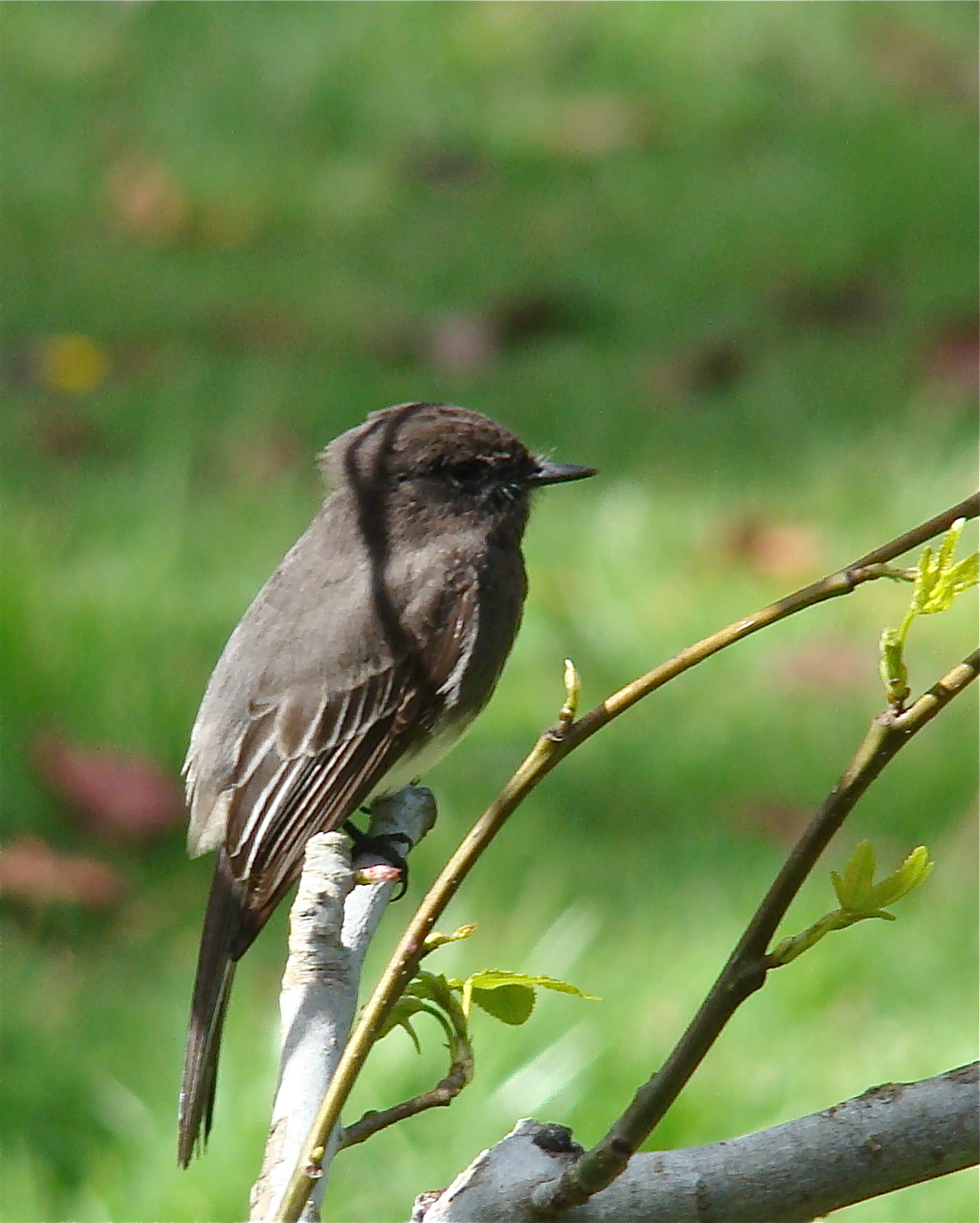 shorebird:サンフランシスコ探鳥...