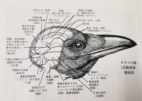 カラス脳活動領域
