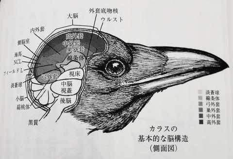 カラス基本脳構造