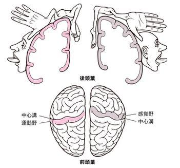 homunclus