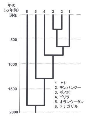 類人猿DNA分岐