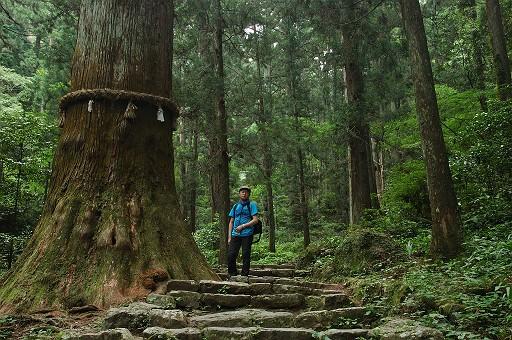 鳳来寺山で最も素晴らしいスギ