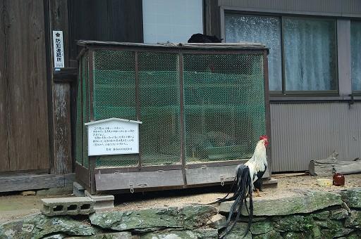 満光寺のニワトリ