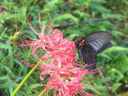雨上がりの黒蝶