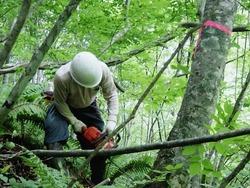 アオダモ伐採