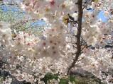 京都の桜 in 2007
