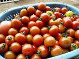 完熟トマトたべたい