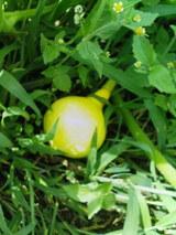 赤かぼちゃ黄色