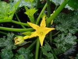 ズッキーニの花2