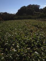 大豆紅葉開始