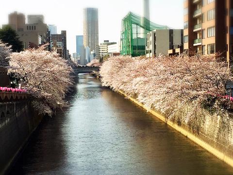 目黒川_桜2