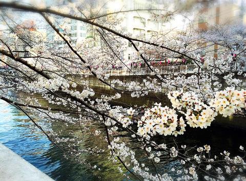 目黒川_桜_綺麗