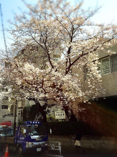 桜_渋谷_中島医院前