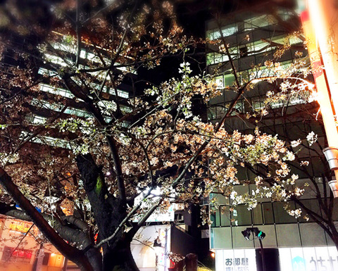 渋谷_桜開花