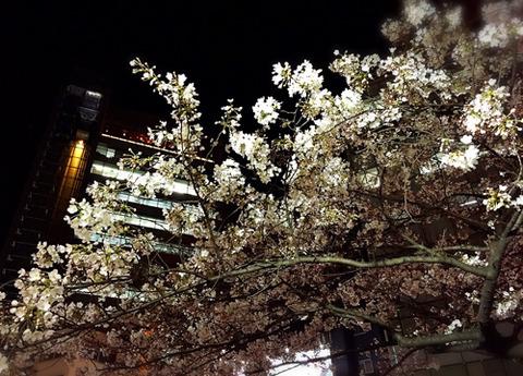 渋谷の桜写真
