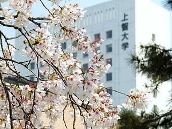 yotsuya_sakura