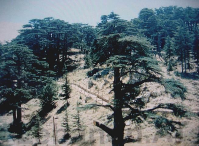 レバノンスギの画像 p1_32