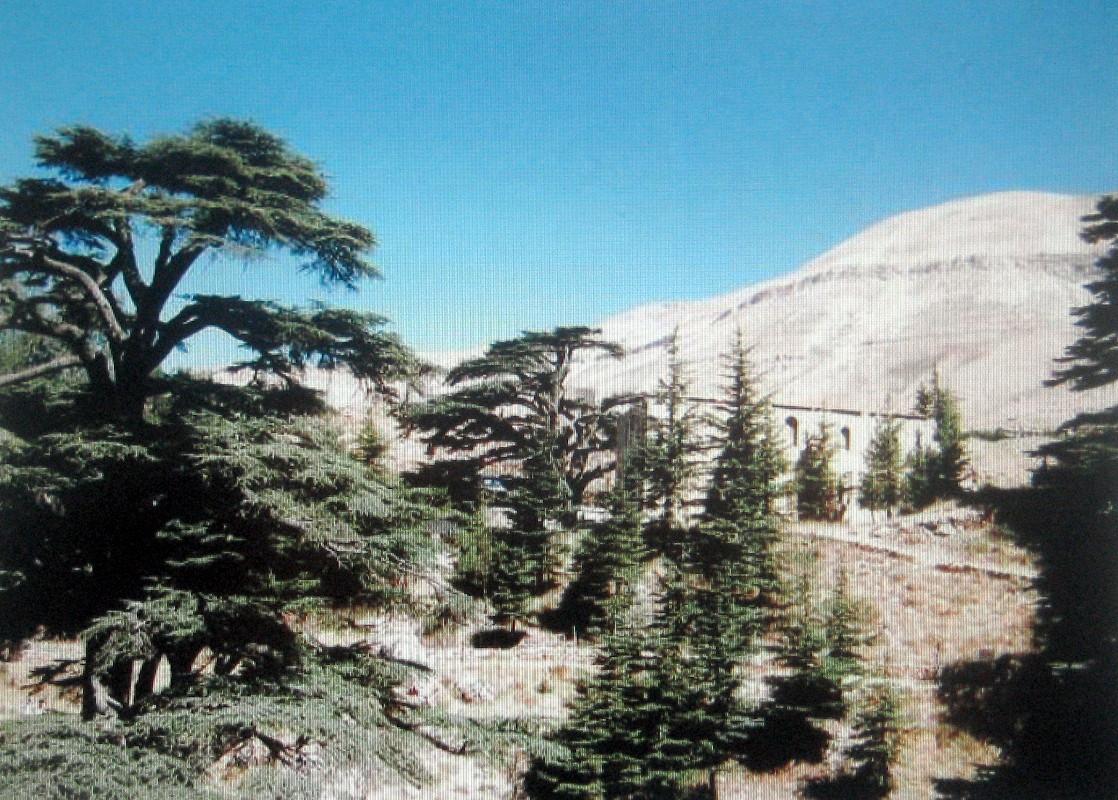 レバノンスギの画像 p1_3