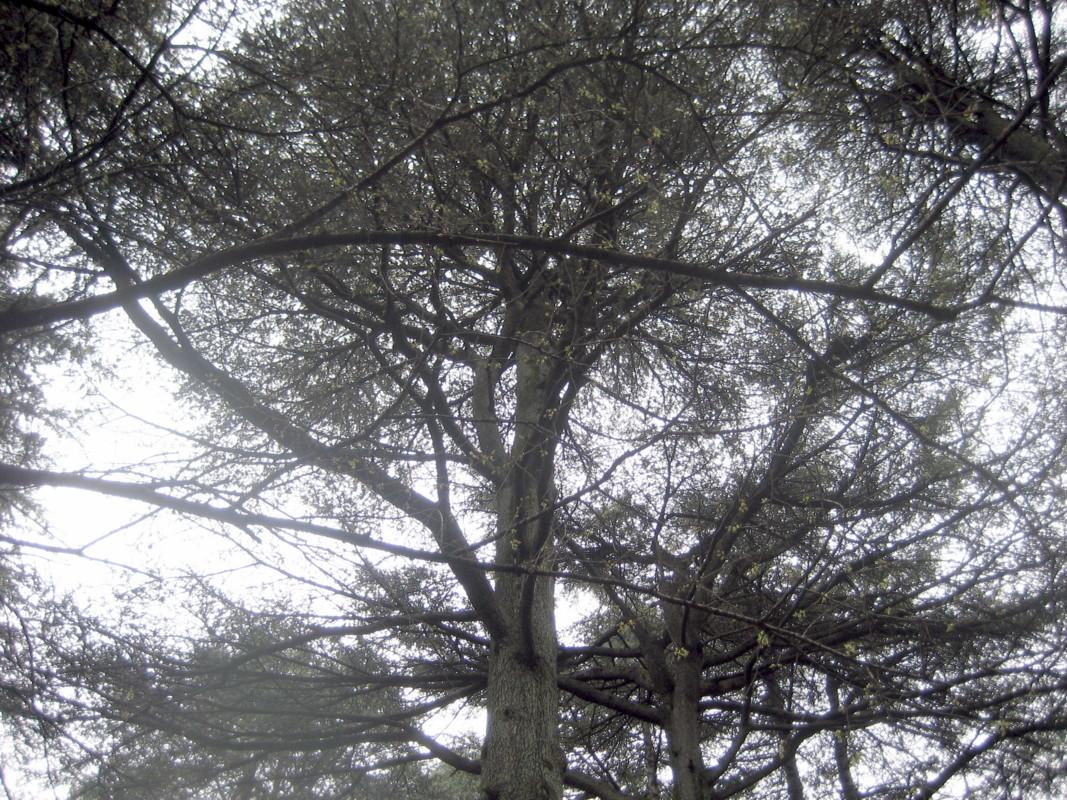 レバノンスギの画像 p1_38