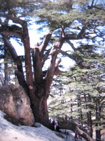 レバノンスギの画像 p1_29