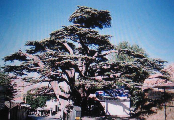レバノンスギの画像 p1_28