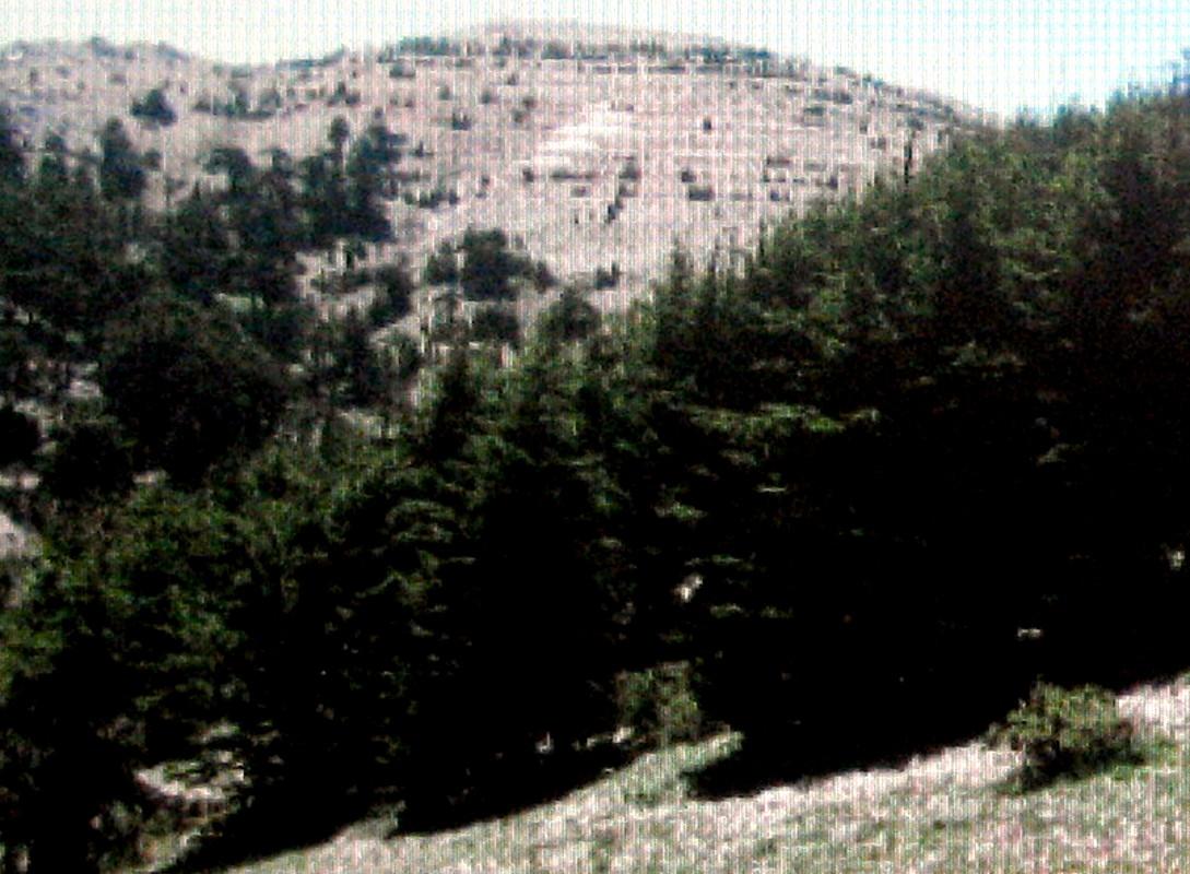 レバノンスギの画像 p1_9