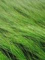 風に揺れる イグサ畑