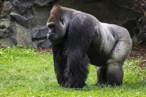 gorilla-4547188_1920