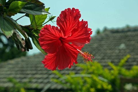 hibiscus-787030_1920