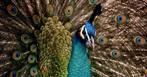 peacock-3080897_1920