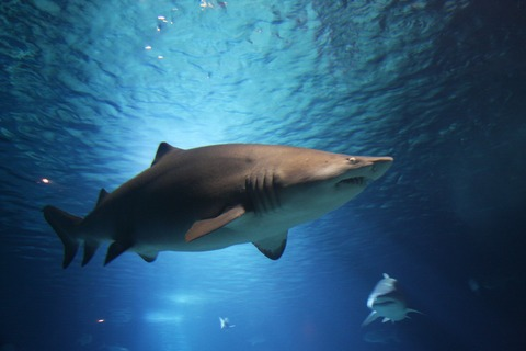 shark-220748_1920
