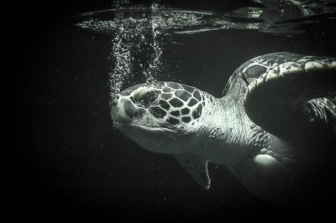 sea-turtle-427940_1920