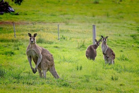 kangaroo-61196_1920