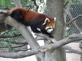 赤熊猫、木を下りる