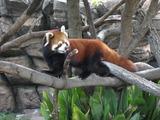 見返り赤熊猫