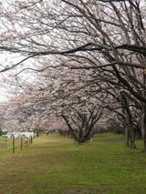 走水水源地 桜の隧道