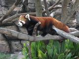 赤熊猫、木に登る