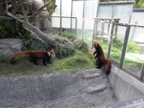 立ち上がる赤熊猫