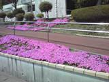 シーデスタより芝桜1
