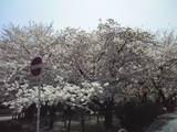 シーデスタより西春公園の桜2009