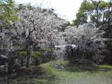 シーデスタよりしだれ桜1