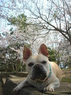 満開の桜と。